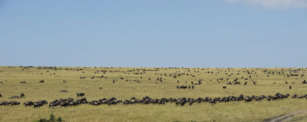 wildebeest leadership